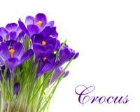 Açafrão adiantado da flor da mola isolado Imagem de Stock