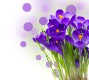 Açafrão adiantado da flor da mola isolado Imagem de Stock Royalty Free