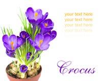 Açafrão adiantado da flor da mola para a Páscoa Imagem de Stock