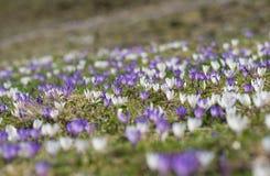 Açafrão adiantado da mola nos cumes, no roxo e no branco Foc seletivo Foto de Stock Royalty Free