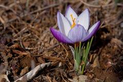 Açafrão agradável - primeira flor da mola Foto de Stock Royalty Free