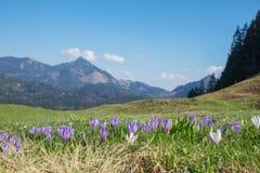 Açafrão alpino em abril, fundo macio Foto de Stock Royalty Free