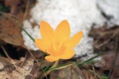 Açafrão amarelo Foto de Stock Royalty Free