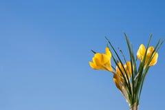 Açafrão amarelo. fotografia de stock