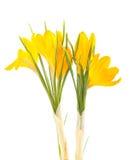 Açafrão amarelo #02 Fotos de Stock