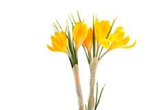 Açafrão amarelo #02 Imagens de Stock