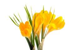 Açafrão amarelo #02 Foto de Stock