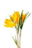 Açafrão amarelo #02 Imagens de Stock Royalty Free