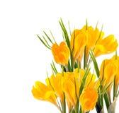 Açafrão amarelo #02 Fotos de Stock Royalty Free