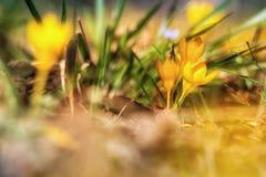 Açafrão amarelo, Fotografia de Stock Royalty Free