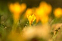 Açafrão amarelo, Imagem de Stock Royalty Free
