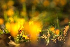 Açafrão amarelo, Fotos de Stock Royalty Free