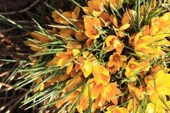 Açafrão amarelo #02 Foto de Stock Royalty Free