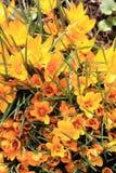 Açafrão amarelo #02 Imagem de Stock