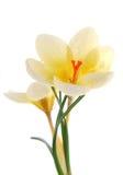 Açafrão amarelo Fotografia de Stock Royalty Free