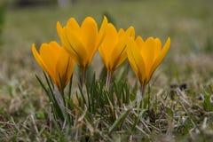 Açafrão amarelo Fotos de Stock Royalty Free