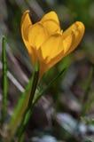 Açafrão amarelo bonito Imagem de Stock