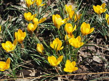 Açafrão amarelo Chrysanthus Goldilocks Imagens de Stock