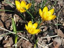 Açafrão amarelo Chrysanthus Goldilocks Foto de Stock