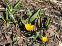 Açafrão amarelo Chrysanthus Goldilocks Fotografia de Stock