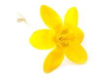 Açafrão amarelo da flor em um branco Fotos de Stock