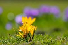 Açafrão amarelo da mola Foto de Stock Royalty Free