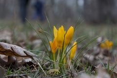 Açafrão amarelo da mola Flor amarela da mola nas frentes Imagens de Stock Royalty Free