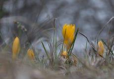 Açafrão amarelo da mola Flor bonita da mola Flor amarela da mola na floresta Fotografia de Stock Royalty Free