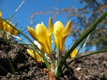 Açafrão amarelo de florescência. Fotografia de Stock