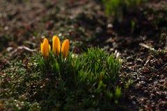 Açafrão amarelo de florescência do inverno Fotos de Stock