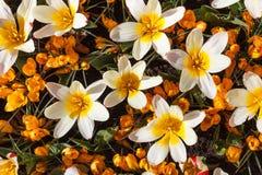 Açafrão amarelo de florescência e flores brancas das tulipas, açafrão sativus e gesneriana de tulipa Fotografia de Stock Royalty Free
