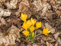 Açafrão amarelo de florescência no macro seco das folhas, foco seletivo Imagem de Stock Royalty Free