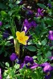 Açafrão amarelo e flores roxas Fotos de Stock Royalty Free