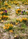 Açafrão amarelo em um canteiro de flores Fotos de Stock Royalty Free