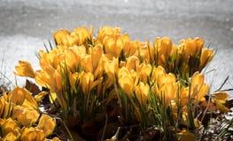 Açafrão amarelo fora na mola Imagens de Stock Royalty Free