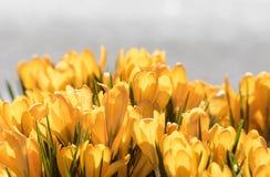 Açafrão amarelo fora na mola Foto de Stock Royalty Free