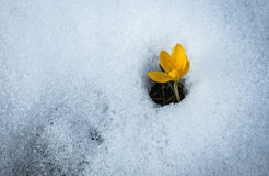 Açafrão amarelo fresco na neve que derrete, Grécia Imagens de Stock