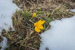 Açafrão amarelo fresco na neve que derrete, Grécia Fotos de Stock Royalty Free