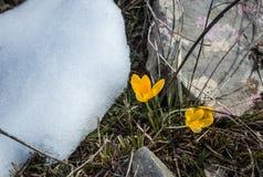 Açafrão amarelo fresco na neve que derrete, Grécia Imagens de Stock Royalty Free