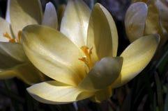Açafrão amarelo macio Fotos de Stock