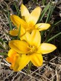 Açafrão amarelo na grama murcho do ` s do ano passado Foto de Stock Royalty Free