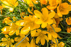 Açafrão amarelo na grama verde Imagem de Stock