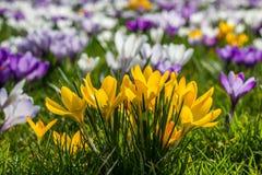 Açafrão amarelo na grama verde Fotografia de Stock Royalty Free