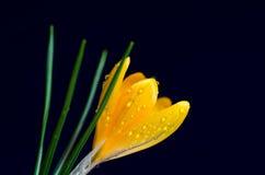 Açafrão amarelo na obscuridade - fundo azul Fotografia de Stock Royalty Free