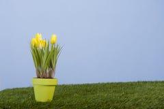 Açafrão amarelo no campo de grama Imagens de Stock Royalty Free