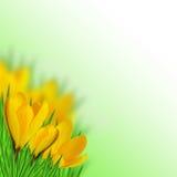 Açafrão amarelo Imagens de Stock Royalty Free