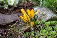 Açafrão amarelo no jardim da mola Imagem de Stock