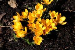 Açafrão amarelo no solo do marrom escuro na luz solar completa Imagens de Stock