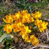 Açafrão amarelo - o gardentime começará Fotografia de Stock