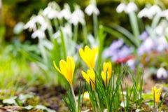 Açafrão amarelo que cresce da terra fora Foto de Stock